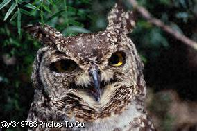 Spotted Eagle Owl
